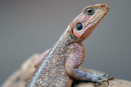 mwanza: Lizards Agama Mwanza filmed in Kenya Stock Photo