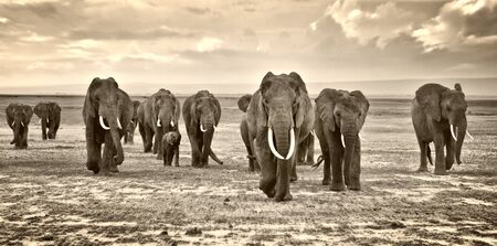 herd of elephants walking in Africa 스톡 콘텐츠