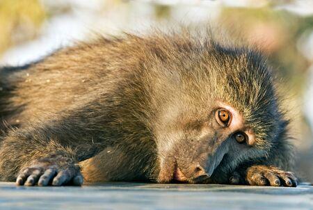antics: Baboon monkey lying sadly looks at photographer Stock Photo
