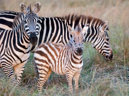 photos of zebra with foal grazing on the African savannah and looking at the photographer. filmed in Kenya