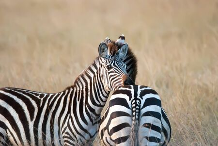 burchell: photo zebra resting her head on friends back on the African savannah, Kenya Africa