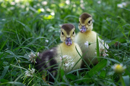 Two little duckling walking in the grass. Georgia Stock Photo