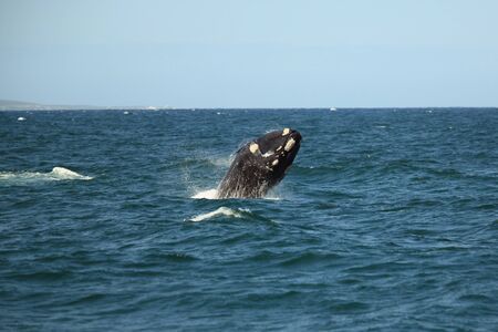 southern right whale jumping out of the water with a lot of splashing, South Africa, Africa Stok Fotoğraf - 60773117