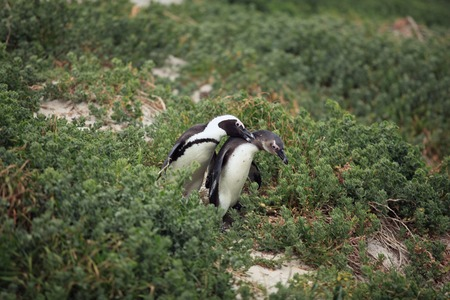 courtship: courtship the male and female African Penguin in the grass, South Africa