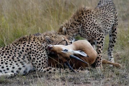 devouring: Cheetah family, catching and devouring a gazelle on the African savannah, Kenya