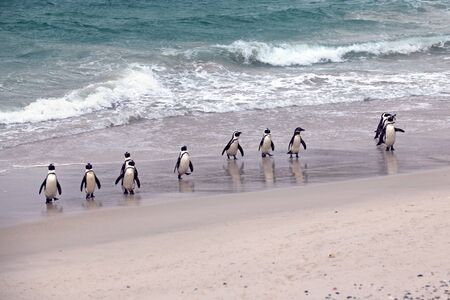 flightless: African Penguin Group emerging from the ocean Boulders Beach in Cape Town, South Africa Stock Photo