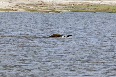 male elephant floating across the river with a raised trunk, Chobe Reserve, Botswana