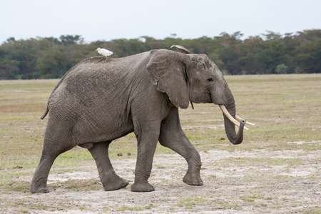Adult male elephant walking on the African savannah with white bird on back, Kenya