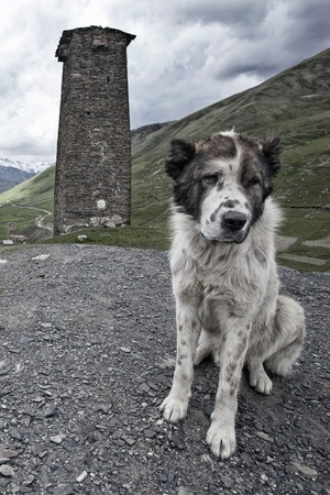 Central Asian Shepherd Dog on guard against Svan towers, Ushguli, Georgia Stock Photo