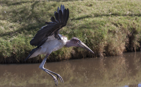 nicely: marabou stork flying nicely along the river, Kehya Stock Photo