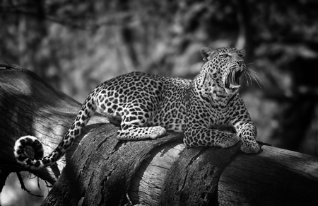 naivasha: leopard resting on a tree, Lake Naivasha, Kenya