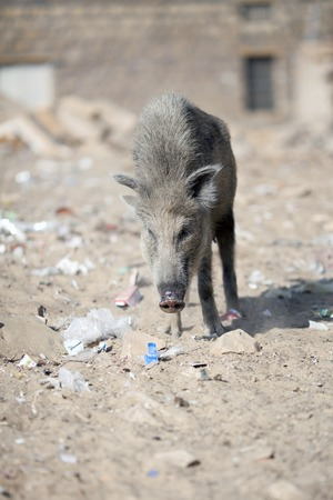 wild pig on the street of town, India