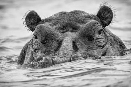 aggressive hippo muzzle sticking out of lake, Kenya Stock Photo