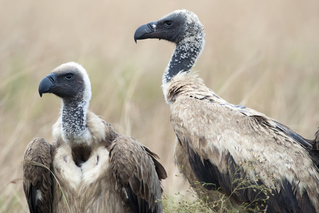 Portrait of scavengers vultures in the African savannah, Kenya