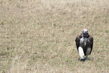 Vulture scavenger walking on the African savannah, Kenya Stock Photo - 81286441