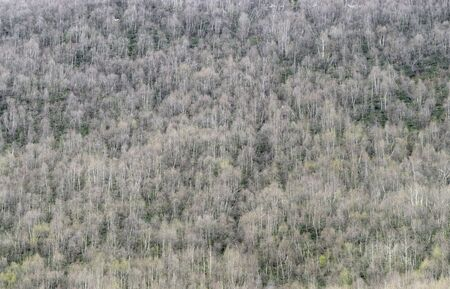 Background of a birch forest on a mountainside, Georgia Stock Photo