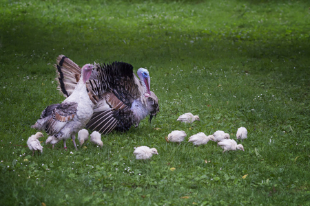 Adult turkey, with a female and turkeys walking along the lawn, Georgia 스톡 콘텐츠