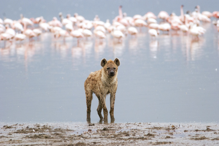 hyena standing on the shore of the lake, on a background of a flock of flamingos, Kenya
