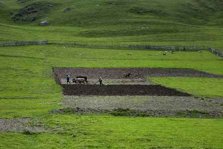 Editorial Photo Farmers plowing the ground on bulls, the village of Ushguli, Georgia May 2016