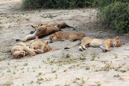 group, family sleeping lioness in the African savannah, Botswana 스톡 콘텐츠