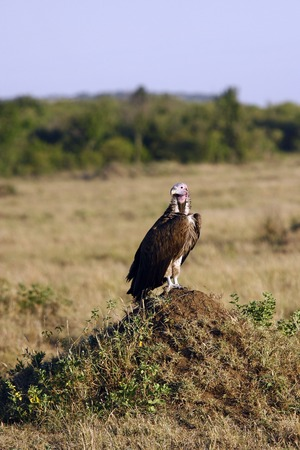 vulture sitting on a hill in the African savannah, Kenya 스톡 콘텐츠