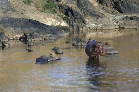 landscape with hippo posing standing in Masai Mara river, Kenya