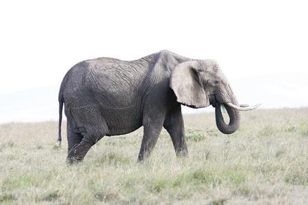 Elephant female eats grass on the African savannah, Kenya