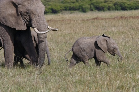 baby elephant with his mother elephant walking on the African savannah, Kenya 스톡 콘텐츠