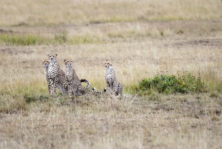 Family of cheetahs looking out for prey in the African savannah, Kenya 스톡 콘텐츠