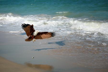 Eagle attacking prey on the seashore, India