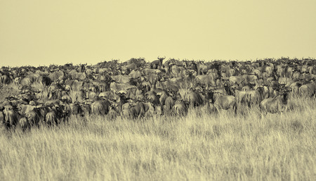 Gnu migration on the Mara river, Maasai Mara, Kenya