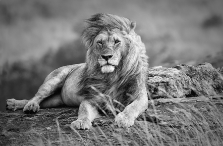 Mighty and beautiful lion resting in the African savannah, black and white, Kenya Foto de archivo