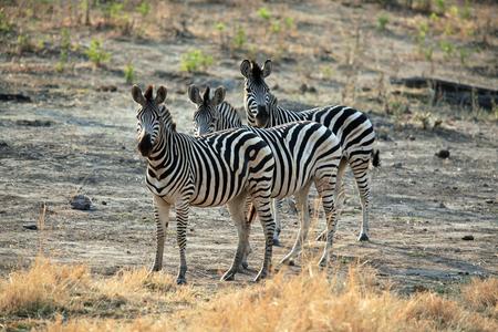 Family of zebra standing in the African savannah, Kenya