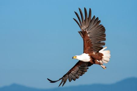 Afrikanischer Fischadler (Haliaeetus vocifer)