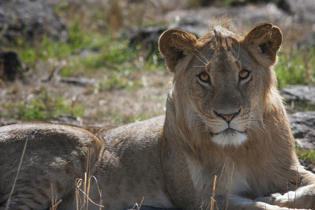 young, beautiful lioness lying in the savanna and looking in the eye, Kenya