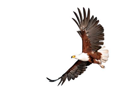 fish eagle beautifully flying on isolated white background? Kenya