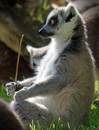 funny lemur sit in the grass and holds a stick in his paw