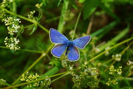 polyommatus: Adonis Blue Polyommatus bellargus on flower with wings open. Stock Photo