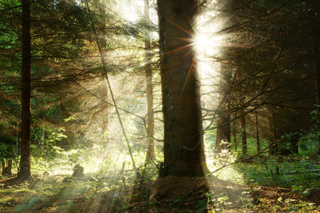magical forest: The magical forest at sunrise. Sun streaming through trees in forest. Stock Photo