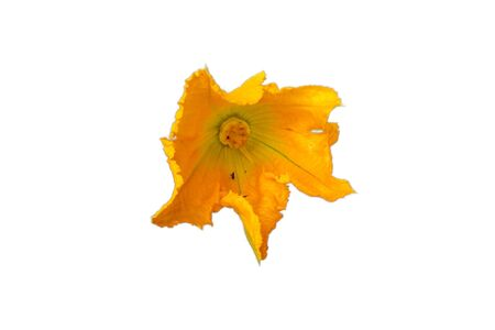 Courgette flower white background