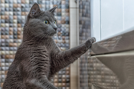 Russian blue cat stands to the bathroom. Stock Photo