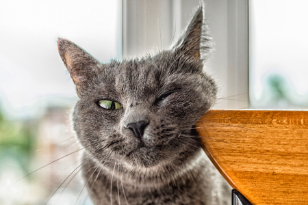 Russian blue cat funny groomed his cheek.