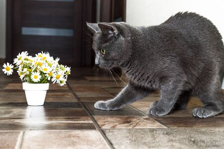 silver hair: Russian blue cat and beautiful white flowers daisies. Stock Photo