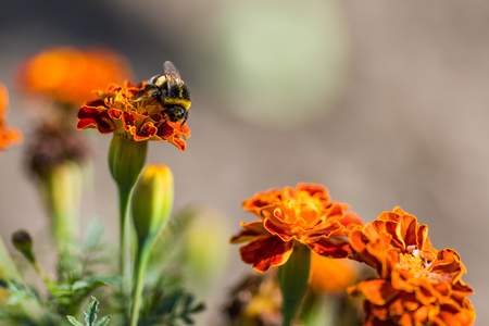 Bumblebee Pollinating Flower Tagetes Close Up Beautiful Nature Floral Background Of Yellow And Orange Flowers