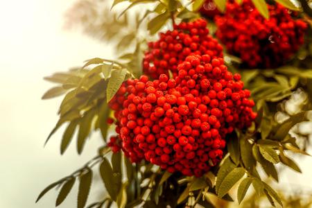 Ripe berries on the rowan tree on autumn.