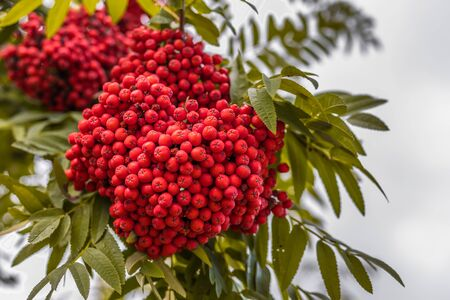 Ripe berries on the rowan tree on autumn.