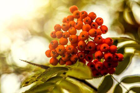 rowanberry: Ripe berries on the rowan tree on autumn.