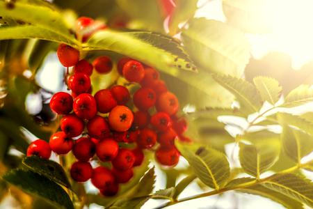 sorbus: Ripe berries on the rowan tree on autumn.