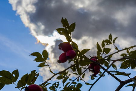 Rose hip fruits on a blue sky background with beautiful clouds.