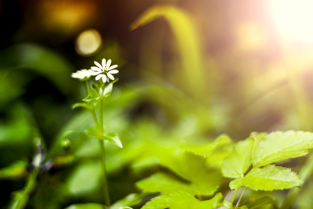 Single Greater Stitchwort (Stellaria holostea) in a forest in Lithuania, LT.